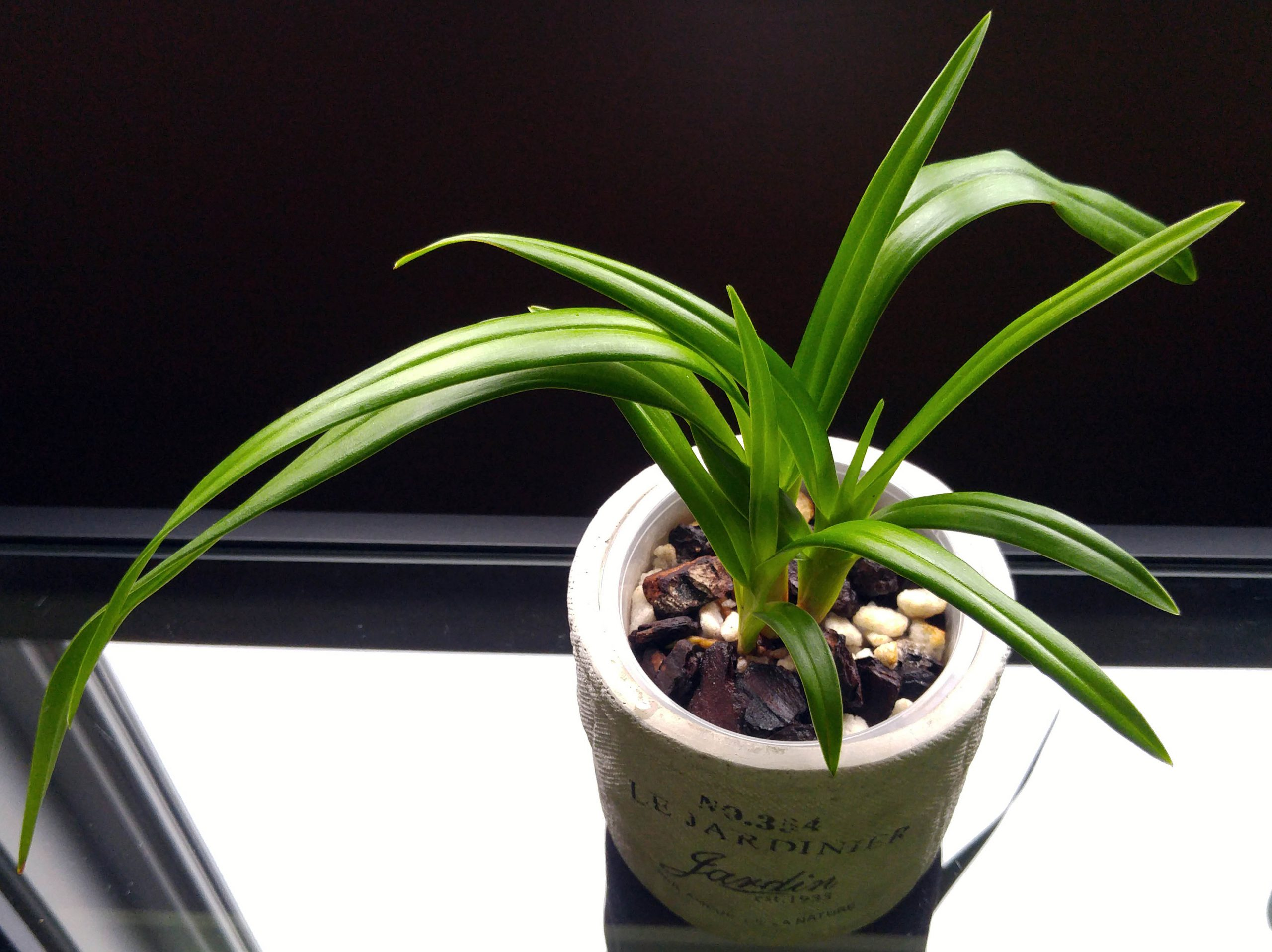 Phragmipedium Predator